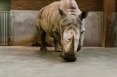 """Постер, картина, фотообои """"вид спереди под угрозой белый носорог в зоопарке"""""""