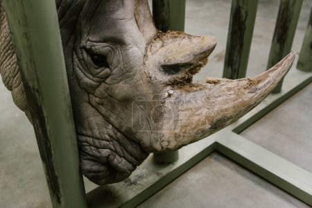 close up view of white rhino horn at zoo