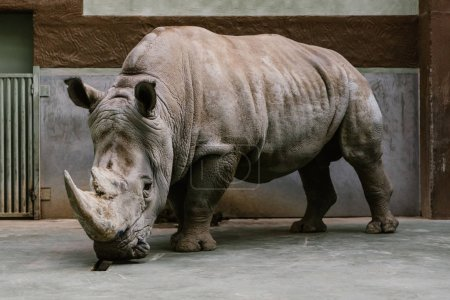close up shot of endangered white rhino standing at zoo
