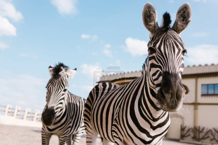 closeup shot of two zebras grazing in corral at zoo