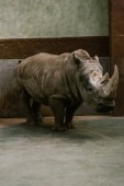 front view of endangered white rhino standing at zoo