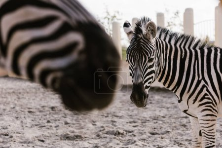 close up view of two zebras grazing on ground in corral at zoo