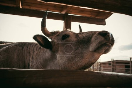 close up view of cow standing near wooden fence at zoo