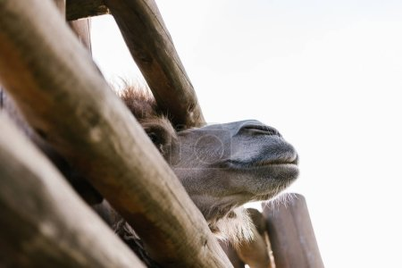 low angle view of camel muzzle near wooden fence at zoo