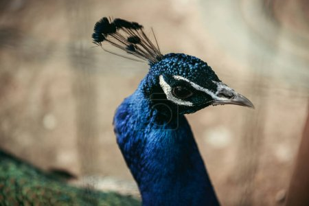 Photo for Close up shot of peacock standing on blurred background - Royalty Free Image
