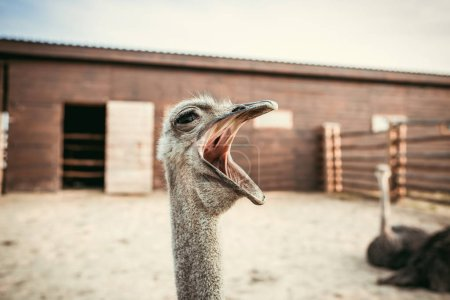 closeup shot of yawning ostrich in corral at zoo