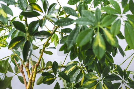 selective focus of schefflera branches with green leaves isolated on grey background