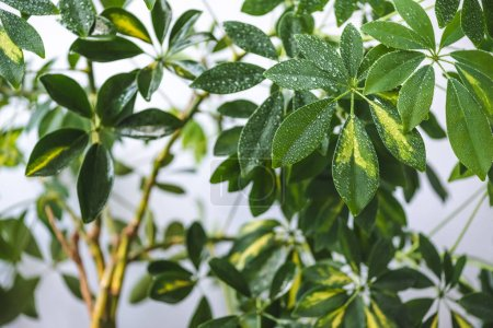 selective focus of schefflera branches and green leaves with water drops