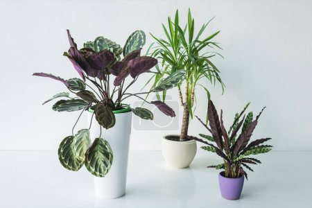 Photo for Calathea plants and palm in pots isolated on grey background - Royalty Free Image