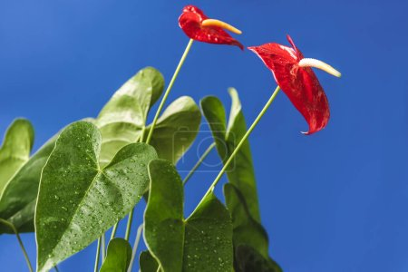 close up view of red anthuriums and green leaves with water drops isolated on blue background