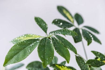 close up view of schefflera with green leaves and water drops isolated on grey background
