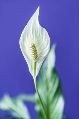 selective focus of spathiphyllum flower on purple background