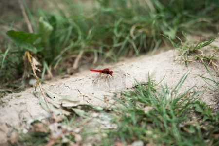 selective focus of red dragonfly on ground near grass