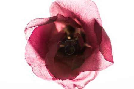 Photo for Close up shot of purple flower isolated on white - Royalty Free Image