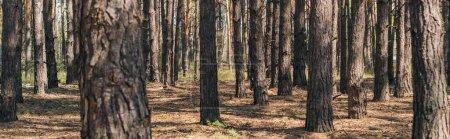 Photo pour Récolte panoramique de troncs d'arbres dans les bois d'été - image libre de droit