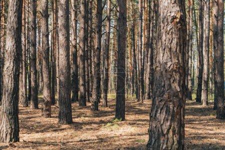Photo pour Foyer sélectif des troncs d'arbres dans les bois d'été - image libre de droit