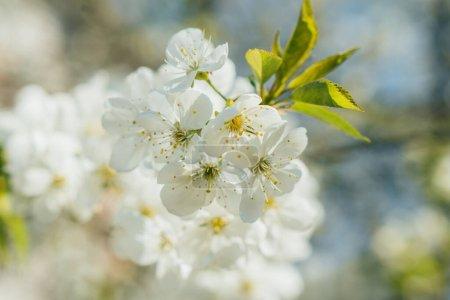 Photo pour Foyer sélectif de fleur de cerisier blanc avec des feuilles vertes - image libre de droit