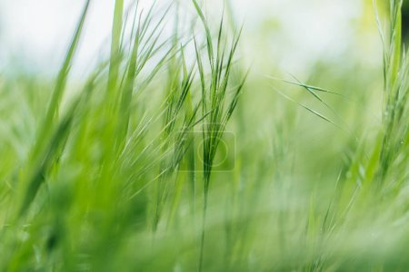 Photo for Close up of green and fresh grass - Royalty Free Image