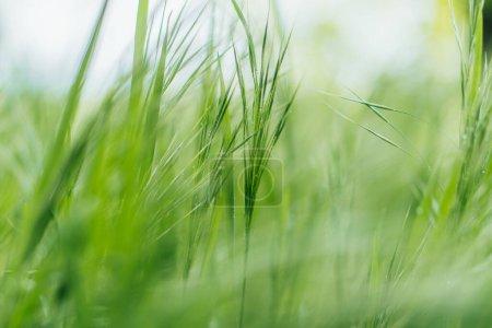 Photo pour Gros plan d'herbe verte et fraîche - image libre de droit