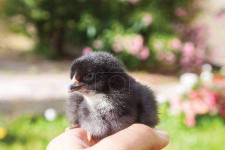 male hand with black chick outdoors