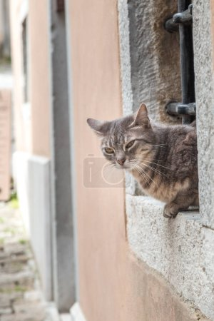 Cat in window on stone street at the Motovun town in Istria, Croatia, Europe.