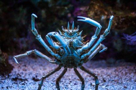 Photo pour Crabe debout en détail vue . - image libre de droit