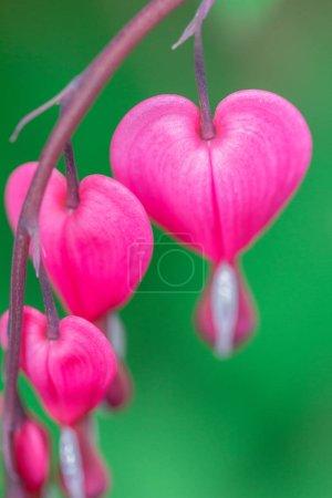 Foto de Lamprocapnos spectabilis, flores de corazón sangrante en detalle macro. - Imagen libre de derechos