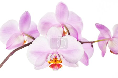 Photo for Blooming orchid flowers on white background. - Royalty Free Image