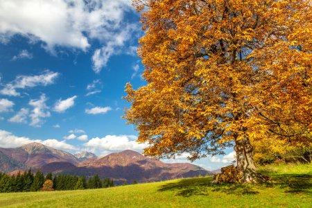 Photo pour Arbre à feuilles caduques de couleur orange dans le paysage d'automne avec une chaîne de montagnes en arrière-plan. Parc national Mala Fatra, Slovaquie, Europe . - image libre de droit