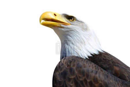 Portrait of a Bald Eagle (Haliaeetus Leucocephalus) isolated on a white background.