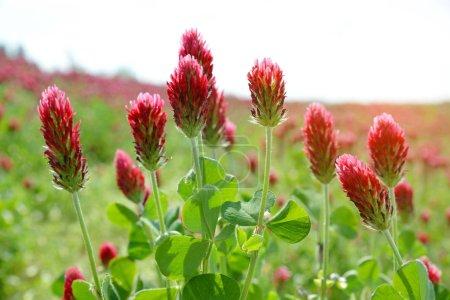 Field of flowering crimson clovers (Trifolium incarnatum) close up. Spring season.