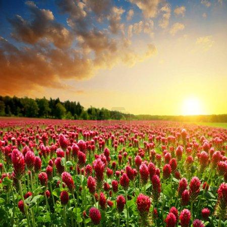 Field of flowering crimson clovers (Trifolium incarnatum). Spring rural landscape at sunset.