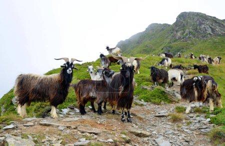 Photo pour Un troupeau de chèvres paissant sous la montagne de Soum de Matte dans la montagne des Pyrénées. France . - image libre de droit