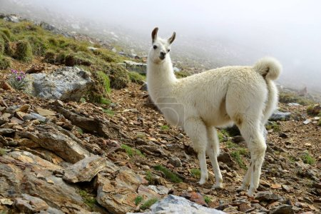 Foto de Llama (lama glama), mamífero que vive en los Andes sudamericanos . - Imagen libre de derechos