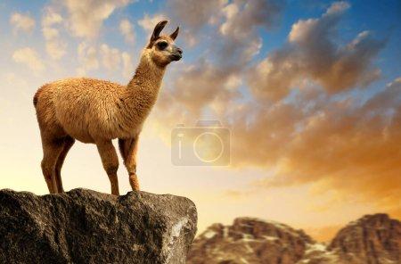 Foto de Llama (lama glama) al atardecer, mamífero viviendo en los Andes sudamericanos . - Imagen libre de derechos