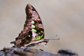 Tropical butterfly Tailed Green Jay (Graphium agamemnon). Swallowtail living in Southeast Asia and Australia.