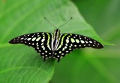 Tropical butterfly Tailed Green Jay (Graphium agamemnon) on a leaf. Swallowtail living in Southeast Asia and Australia.