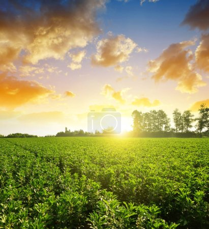 Photo for Cultivated field of broad or fava beans ( Vicia Faba ) at sunset. - Royalty Free Image