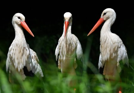 White stork (Ciconia ciconia) on dark background.