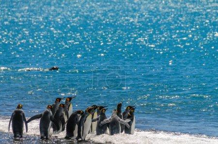 Foto de Un grupo de pingüinos rey - Aptenodytes patagonicus - de pie en la costa, a punto de entrar en el océano, en Georgias del Sur Salisbury Plains . - Imagen libre de derechos