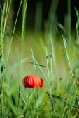 Red Poppy in a Green Field
