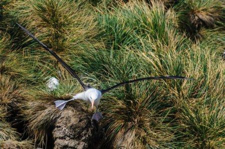 Photo pour Gros plan d'un Albatros à navigation noire en vol. West-Point Island, les Malouines . - image libre de droit
