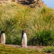 Two Rockhopper Penguins, hiding in the Tussock Gra...