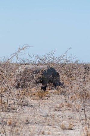 One white Rhinoceros - Ceratotherium simum- on the...