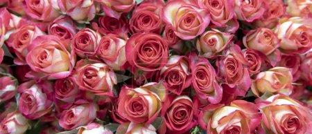 Photo pour Gros plan de délicates roses roses. - image libre de droit