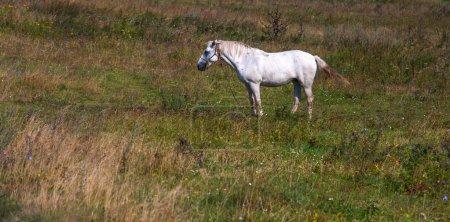 Photo pour Le cheval blanc sur fond vert - image libre de droit