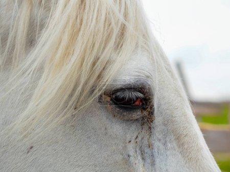 Photo pour Le cheval blanc sur un champ - image libre de droit