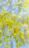 """Постер, картина, фотообои """"Весеннее цветение березы в солнечный день"""""""