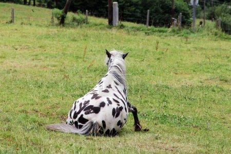Photo pour Photo drôle d'un cheval noir et blanc se levant sur la prairie . - image libre de droit