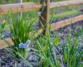 White and Blue Iris, Asparagales, Iridaceae,  Plantae